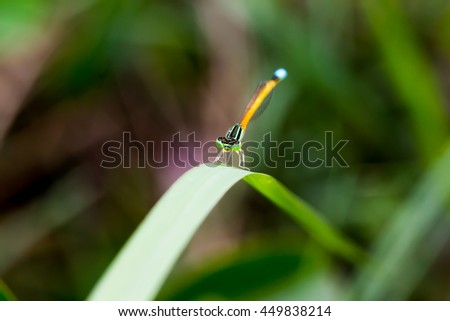 Damselfly on grass leaf