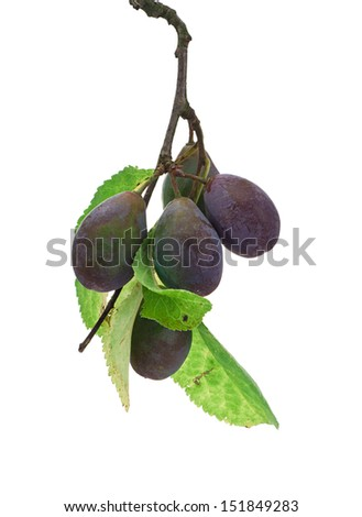 Damson Plum sprig isolated against a white background with leaves