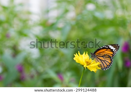 Danaidae, monarch butterfly with flower at park ,garden ,forest - stock photo
