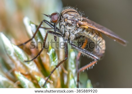 Dance Fly (Empis tesselate) on a plant