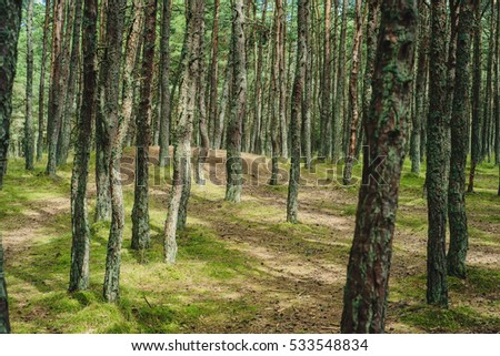 Dancing forest on the Curonian Spit