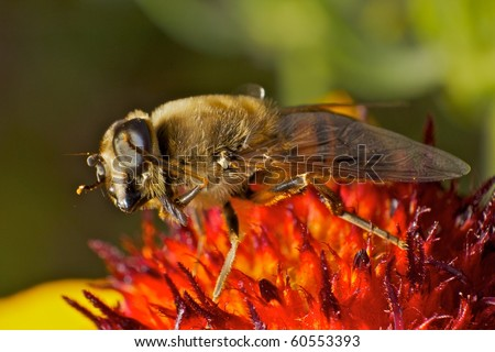 Dancing Hover-fly on colorful flower in extreme macro view