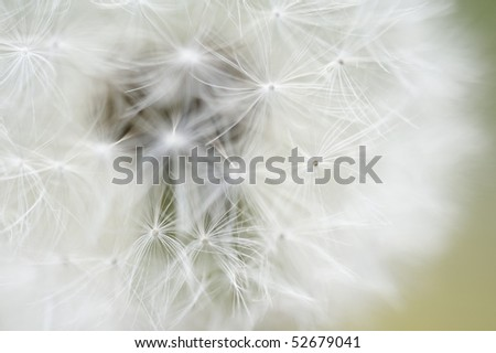 dandalion - stock photo