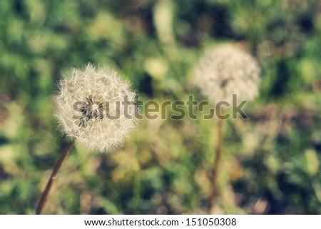 Dandelion - stock photo