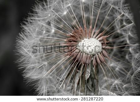Dandelion abstract closeup - stock photo