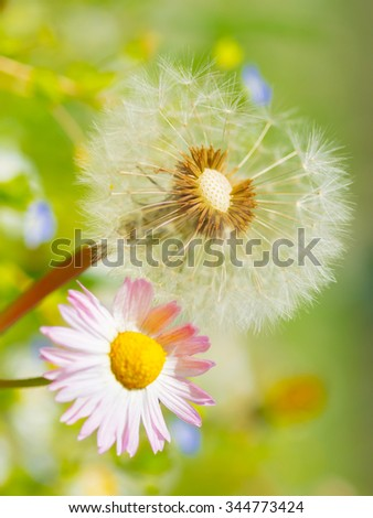 Dandelion abstract closeup, tranquil art scene - stock photo