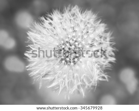 Dandelion abstract closeup, tranquil art scene - stock photo