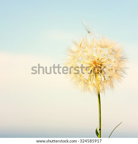 Dandelion across a clear blue sky with copy space.Special toned photo in vintage style