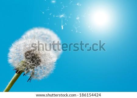 Dandelion against blue sky in spring season - stock photo