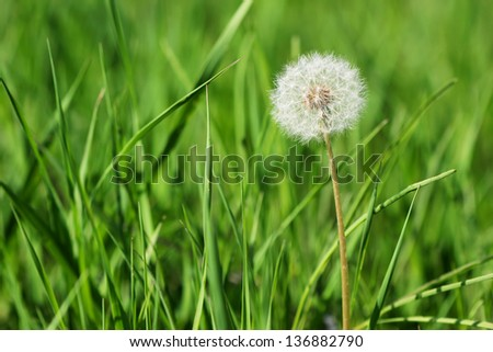 dandelion among green grass - stock photo