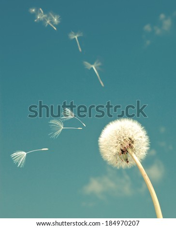 Dandelion and flying  fuzzes,with a retro effect