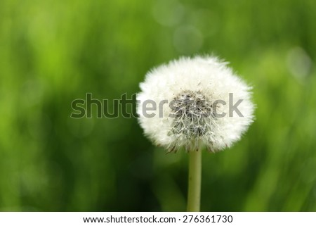Dandelion and fresh green background