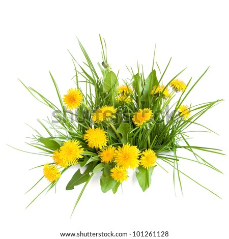 Dandelion and green grass on white background - stock photo