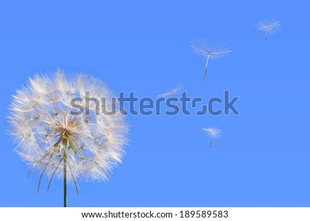 Dandelion and seed blowing away in the wind across a clear blue sky. Close up