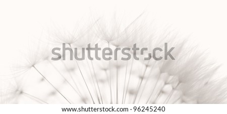 Dandelion and seeds, colored black and white photo.