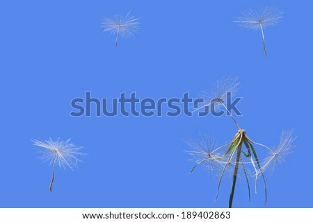 Dandelion and seeds flown away on a clear blue sky background. Close up.