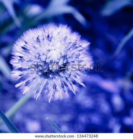 Dandelion at night - stock photo