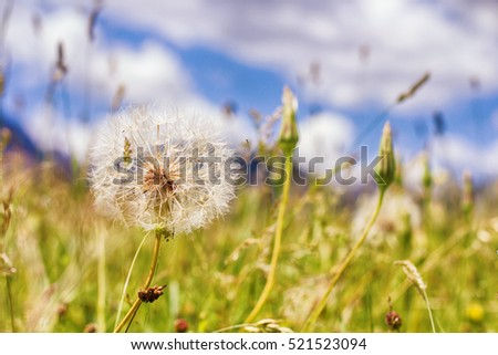 Dandelion at the summer meadow , nature landscape in background.