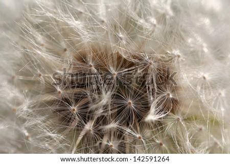 Dandelion blow ball - stock photo