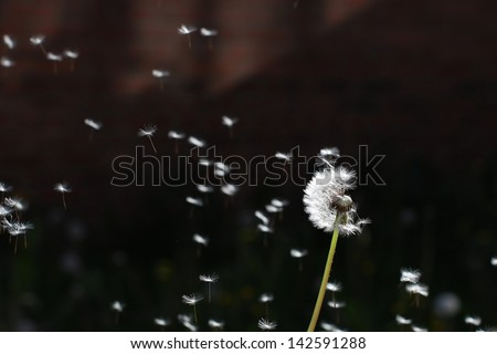 Dandelion blow ball with flying seeds - stock photo