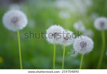 Dandelion blowing seeds in the wind against a green background - stock photo