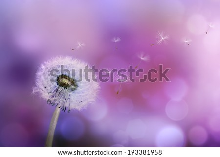 Dandelion blowing seeds in the wind against a violet background - stock photo