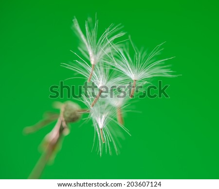 Dandelion close-up - stock photo