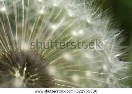 Dandelion close-up - stock photo