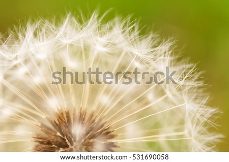Dandelion close up ( macro photo )