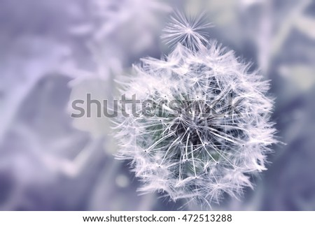Dandelion close up on natural background