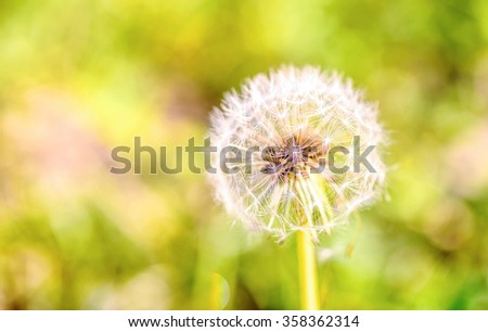 Dandelion close up with abstract color in the background - stock photo