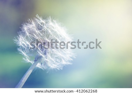 Dandelion close up with soft color and shallow focus