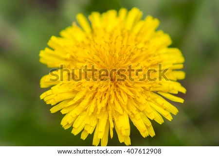 Dandelion close up. Yellow flower close up. Yellow flower. Summer flowers. Yellow flower on a green background. - stock photo