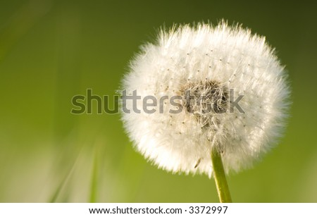Dandelion closeup in the afternoon light - shallow depth of field - stock photo