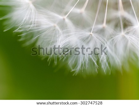 dandelion closeup on green background - stock photo