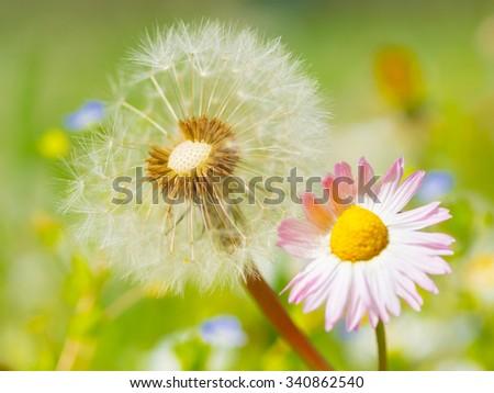 Dandelion daisy spring flower background  - stock photo