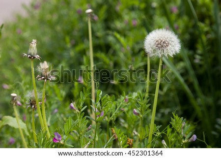 Dandelion, Dandelion flower in spring time, - stock photo