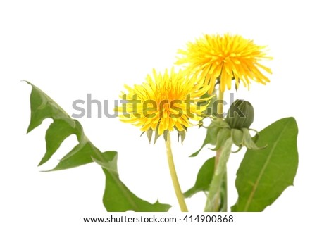Dandelion. Dandelion - spring flowers. Dandelions. Dandelions on white background. Dandelion isolated on white. Healthy dandelion. Dandelion with leaves. Dandelions yellow flowers. Dandelions.   - stock photo