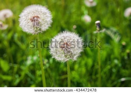 Dandelion, Dandelions flower, Seeds of dandelion. Composition of nature - stock photo