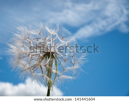 Dandelion exposed to strong wind under blue sky. - stock photo