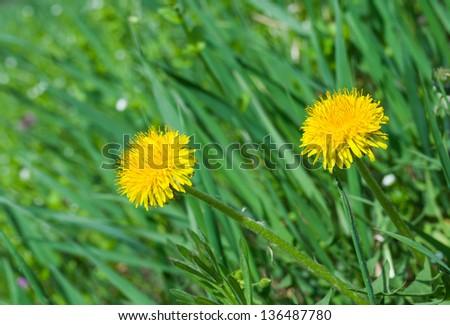 Dandelion family in spring grass. - stock photo