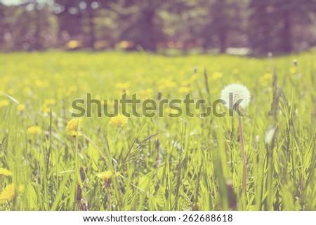 Dandelion field - stock photo