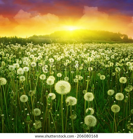 Dandelion field and bright colorful sunset.  - stock photo