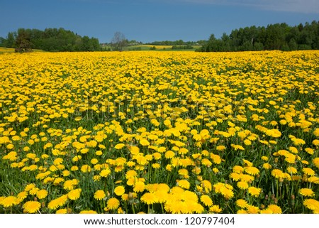 Dandelion field and spring road through yellow meadows - stock photo