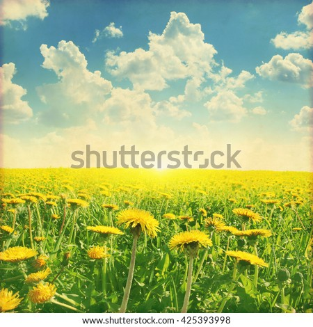 Dandelion field at sunset in grunge and retro style. - stock photo