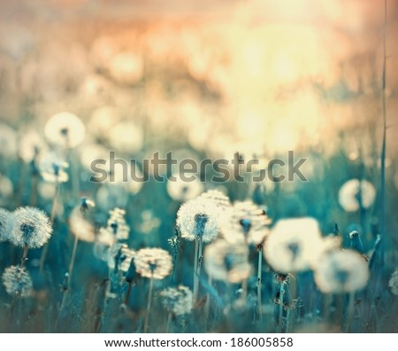 Dandelion field - dandelion seeds - stock photo