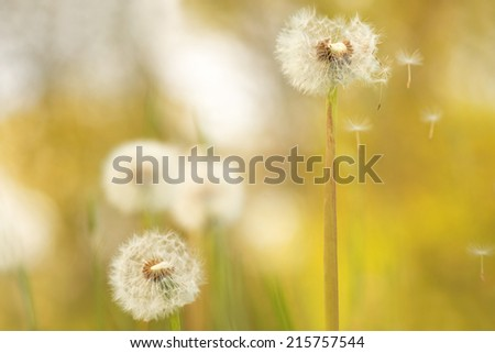 Dandelion field - dandelion seeds flying away. - stock photo