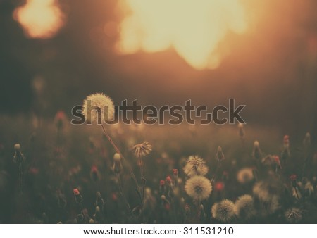 Dandelion field in sunset - stock photo