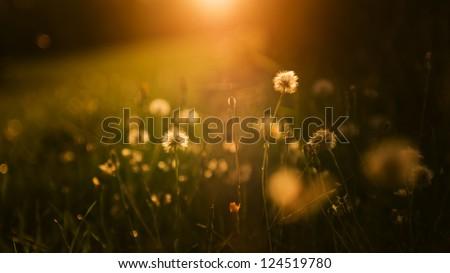 Dandelion field in sunset. Wide 16:9 photo. - stock photo