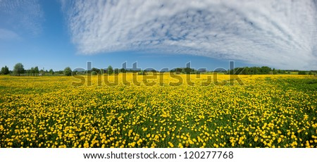 Dandelion field, spring ir yellow meadows - stock photo